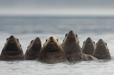 Stellers Sea Lion Eumetopias Jubatus Poster by Michael Quinton