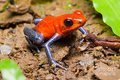 Strawberry Poison Dart Frog Poster by B.G. Thomson