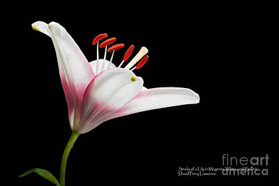 Poster featuring the photograph Study Of A Lily In Magenta, White, And Red #2 By Flower Photographer David Perry Lawrence by David Perry Lawrence