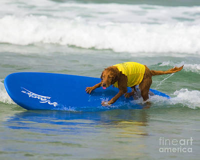 Surf Dog - Riding The Rail Poster by Waterdancer