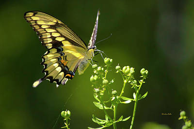 Poster featuring the photograph Elegant Swallowtail Butterfly by Christina Rollo