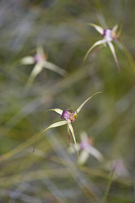 Swamp Spider Orchid, Caladenia Paludosa, Wildflower Orchidaceae Westen Australia Abstract Poster