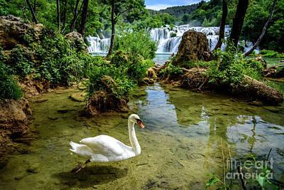 Swan In The Waterfalls Of Skradinski Buk At Krka National Park In Croatia Poster