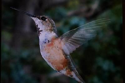 Tan Hummingbird Poster