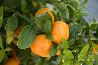 Tangerines On A Tree Branch Poster