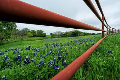 Texas Bluebonnets In Ennis Poster