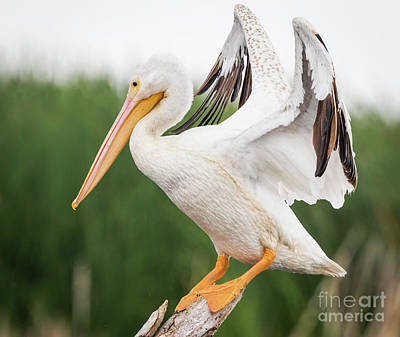 Poster featuring the photograph The Amazing American White Pelican  by Ricky L Jones