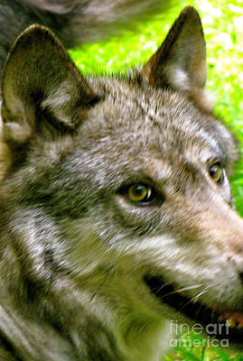 Poster featuring the photograph The Wild Wolve Group A by Debra     Vatalaro