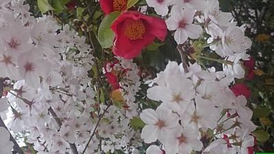 Thubaki Means Camellia Poster