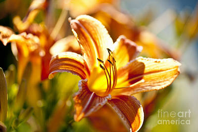 Tiger Lily Flower Poster by Elena Elisseeva