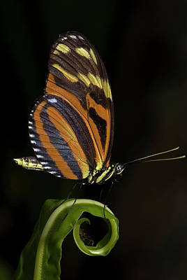 Tiger Longwing Poster