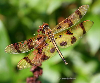 Tiger-striped Dragonfly Poster by Anne Babineau