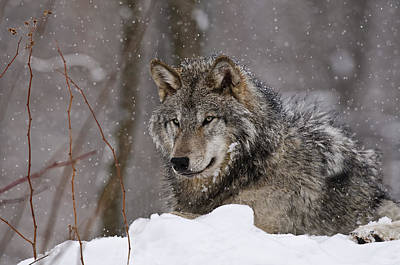 Timber Wolf In Winter Poster by Michael Cummings