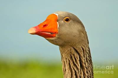 Toulouse Goose Close Up Poster by Adam Jewell
