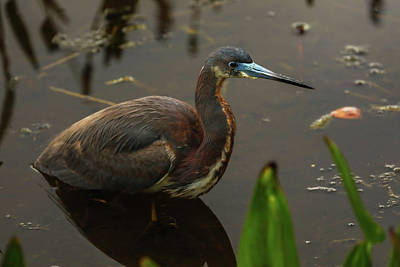 Poster featuring the photograph Tricolored Heron by Juergen Roth