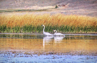 Tranquil Trumpeter Swans Poster by Jennie Marie Schell