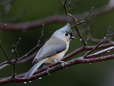 Tufted Titmouse Poster by Todd Hostetter