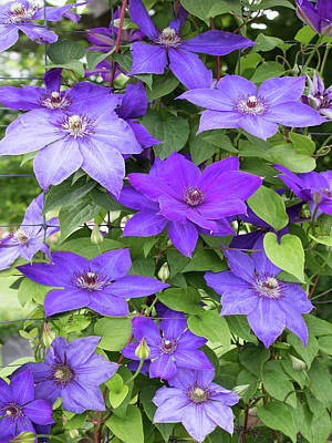 Vines Of Purple Clematis Poster by Barbara McMahon