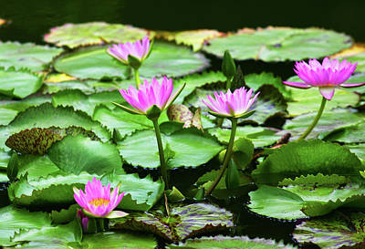 Poster featuring the photograph Water Lilies by Anthony Jones