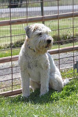 Wheaten Terrier  Poster by Linda Larson