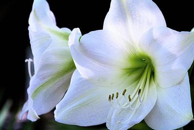 Poster featuring the photograph White Amaryllis  by Saija Lehtonen