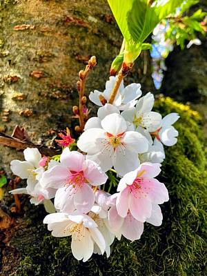 White Apple Blossom In Spring Poster