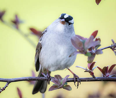 Poster featuring the photograph White-crowned Sparrow  by Ricky L Jones