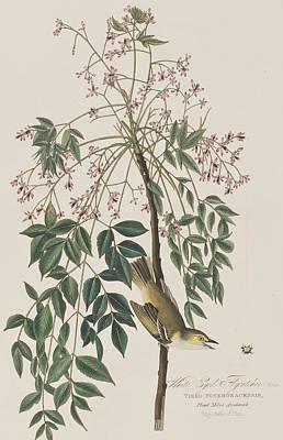 White-eyed Flycatcher Poster