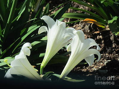 White Lily. Poster by Joyce Woodhouse