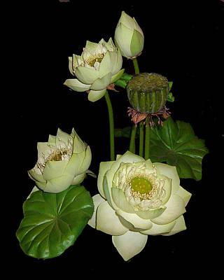 White Lotus Blossoms Poster by Merton Allen