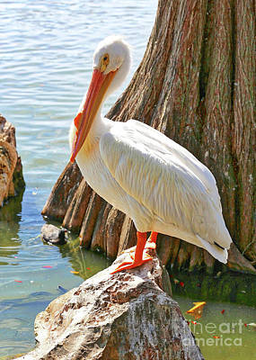White Pelican By Cypress Tree Poster by Carol Groenen
