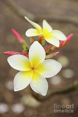 White Plumeria Poster by Charmian Vistaunet