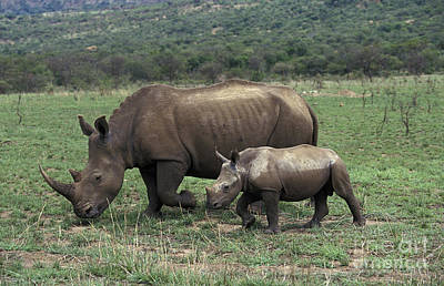 White Rhinoceros Female And Young Poster by Gerard Lacz
