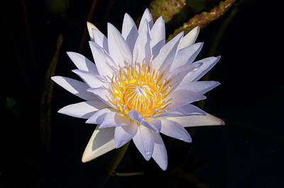 Poster featuring the photograph White Water Lily by Steve Stuller
