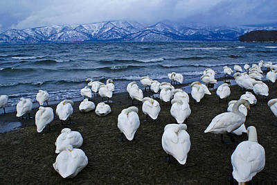 Whooper Swans In Winter Poster by Michele Burgess