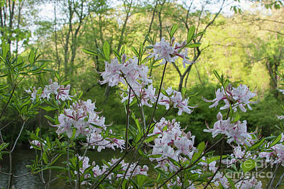 Poster featuring the photograph Wild Azaleas 2 by Chris Scroggins