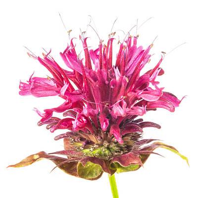Wild Bergamot Also Known As Bee Balm Poster
