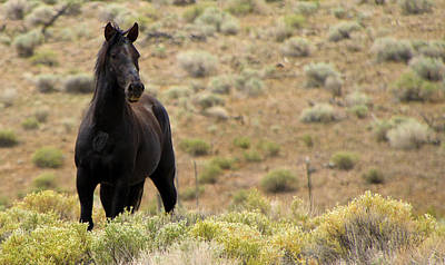 Wild Black Mustang Stallion Poster