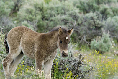 Wild Mustang Foal Poster