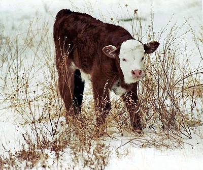 Poster featuring the photograph Winter Calf by Juls Adams