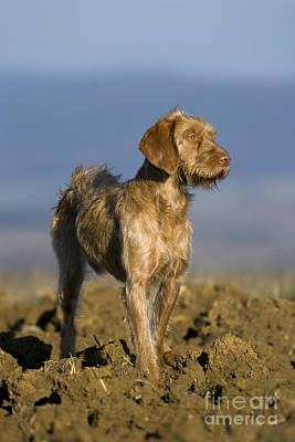 Wirehaired Vizsla Poster