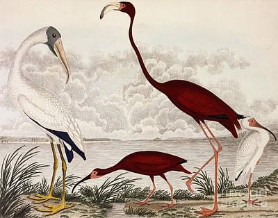 Wood Ibis, Scarlet Flamingo, White Ibis Poster