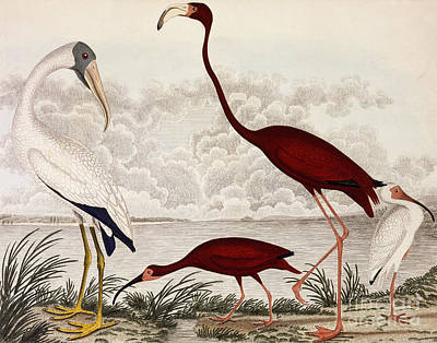 Wood Ibis, Scarlet Flamingo, White Ibis Poster by Alexander Wilson