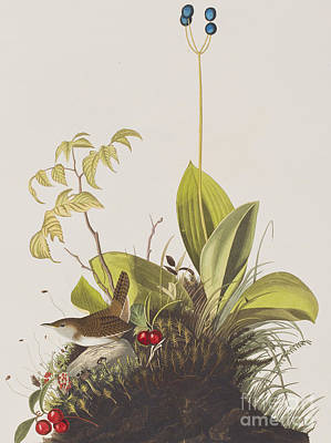 Wood Wren Poster by John James Audubon