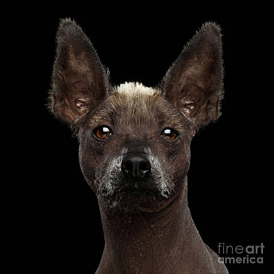 Xoloitzcuintle - Hairless Mexican Dog Breed, Studio Portrait On  Poster by Sergey Taran