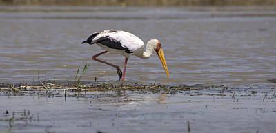 Yellow Billed Stork Poster by Aidan Moran