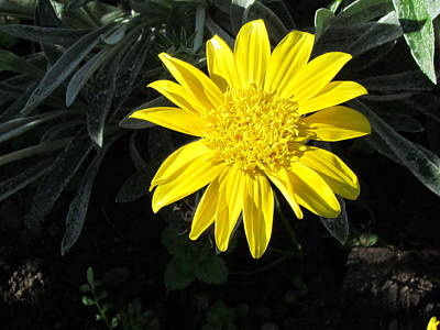 Yellow Daisy Poster by Joyce Woodhouse