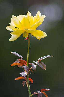 Poster featuring the photograph Yellow Rose by Willard Killough III