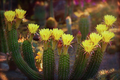Yellow Torch Cactus Bouquet  Poster