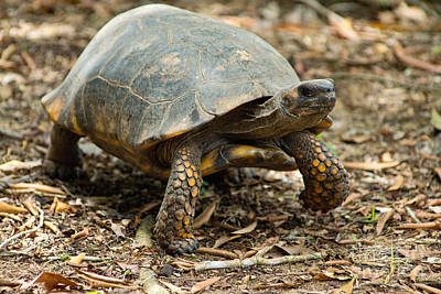 Yellowfoot Tortoise Poster